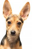 Toy Terrier poster