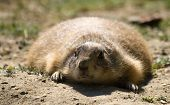 Gopher Small African Mammal Animal poster