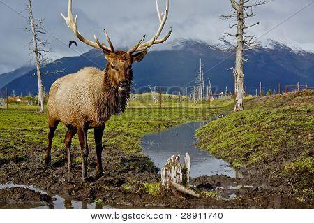 Alaskan Caribou