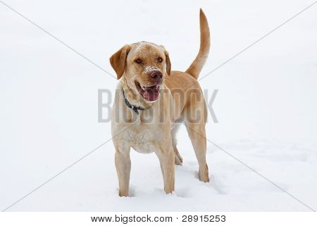 Yellow Labrador Play In The Snow
