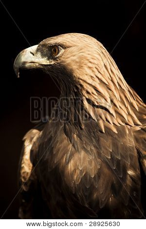 Golden eagle staring at left side.