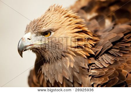 Golden eagle staring at camera.