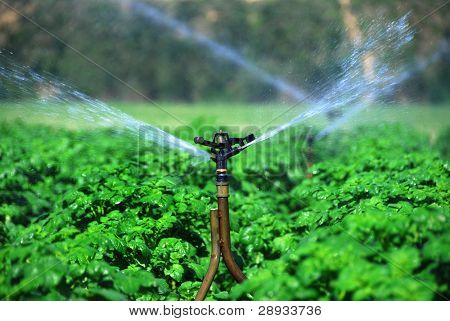 Closeup of irrigation system in a healthy potato field