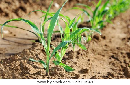 Closeup photo of healthy young maize plants on the field