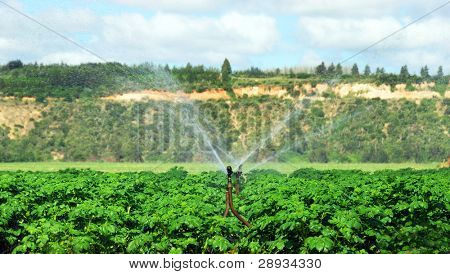 Irrigation sprinklers watering a potato field
