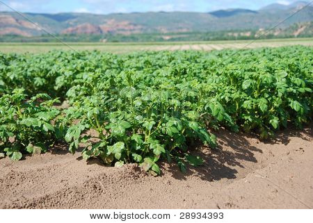 Healthy young potato field
