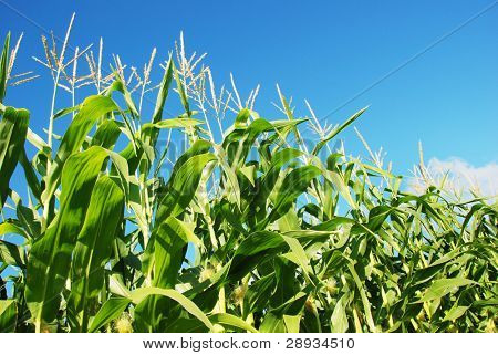 Green maize against blue sky