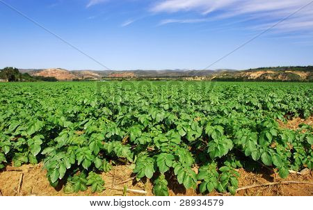 Healthy potato crop