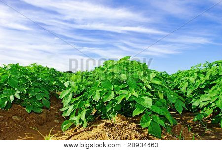 Potato plants in a potato field