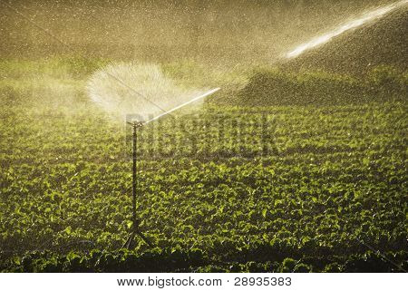 Irrigation sprinklers watering a farm field in late afternoon sun
