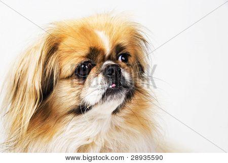 Grande olho cão pequinês e spaniel japonês