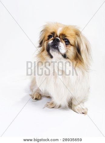Cão pequinês e spaniel japonês