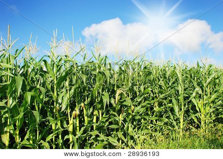 Maize on the field with sky and sun