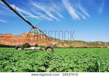 Healthy green potato field