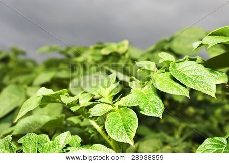 Close up of a healthy potato field in heavy weather