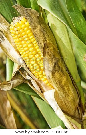 a Maize cob on the plant - ready for harvest