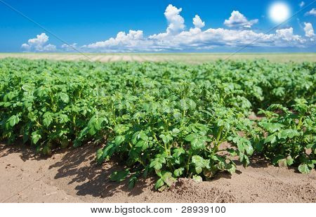 a Big potato field with sky and sun