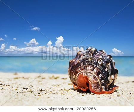 Beautiful sea shell on a tropical island beach