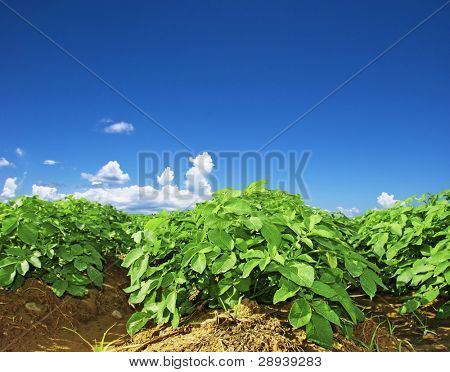 Close up of a potato field