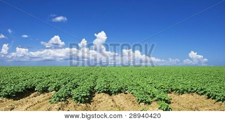 Green potato farm field