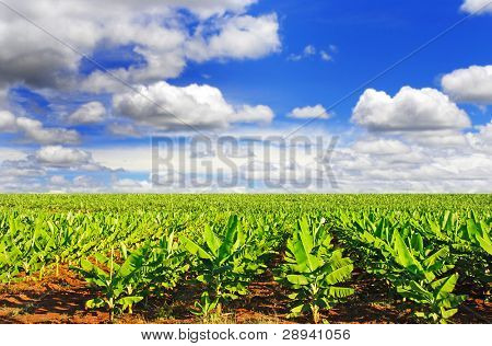 a Banana field in late afternoon sunlight with sky and clouds
