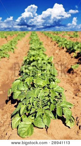 a Potato field with young potato plants - shallow depth of field with the focus on the top leaves of the front plant