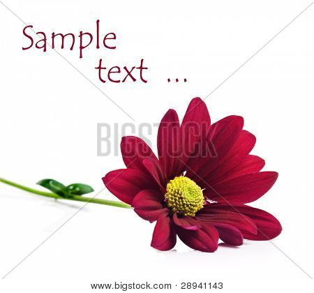 Deep red chrysanthemum flowers on a pure white background with space for text