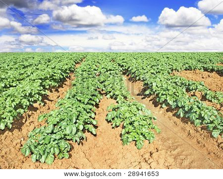 Beautiful potato field