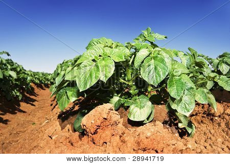 Potato crop on a farm