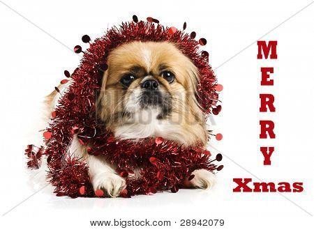 Cão pequinês e spaniel japonês com decoração de Natal vermelho