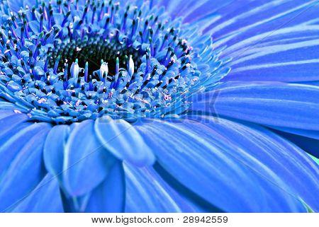 abstrakt hintergrund Nahaufnahme von einem blauen Gerbera daisy