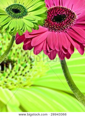 Close up abstract of colorful daisy gerbera flowers