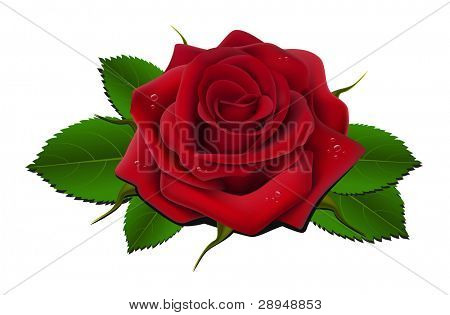 Vector illustration of red rose with leaves and drops