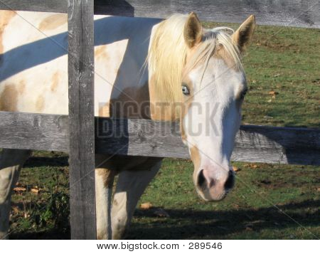 Horse Peeking Through Fence
