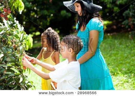happy family picking litchis outdoors in lychee orchard