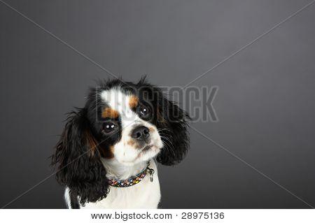 Cavalier Spaniel head shot