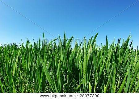 Beautiful green lawn isolated on sky