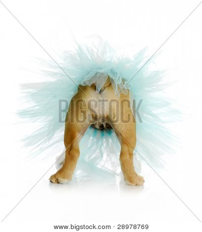dog bum - english bulldog bum wearing blue tutu