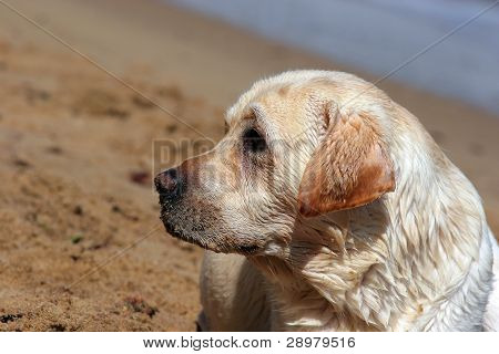 A Yellow Labrador In The Beach Close Up