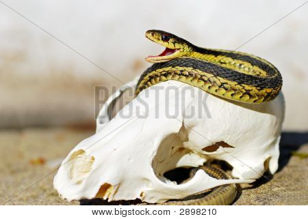Garter Snake On A Fox Skull
