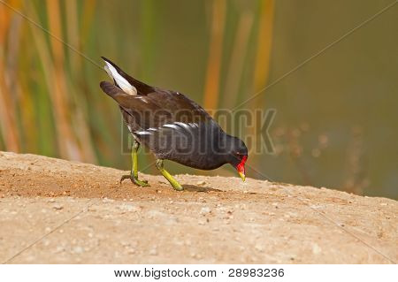 Common Moorhen Looking For Food