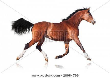 Trakehner horse isolated on white background