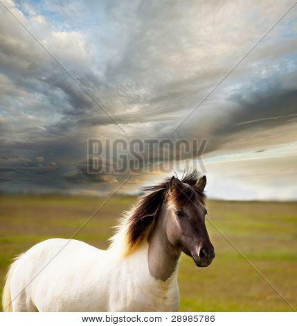 Horse on Faroe islands