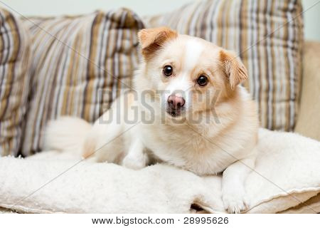 Dog On A Sofa Looking Stright Forward