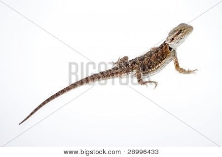 Bearded Dragon On White