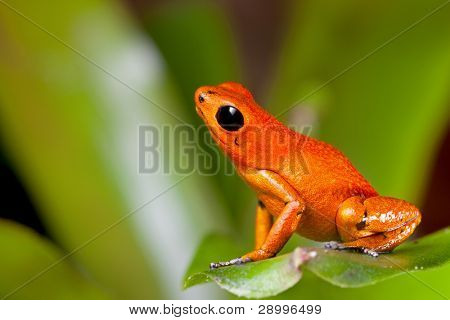 frog orange poisonous animal of rain forest panama Exotic poison dart frog terrarium pet tropical exotic herp species of jungle