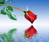 pic of heartfelt  - Red Rose reflections - JPG