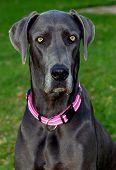 Постер, плакат: Портрет синяя точка Великий датчанин собаки