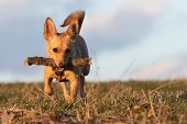 Small Brown Rat Terrier Chihuahua Mix Dog Running With Wooden Stick In Its Mouth On A Dry Meadow Gra poster