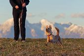 Funny Little Dog Running In The Meadow, Female Owner Standing Behind And Mountain Ranges Visible In  poster